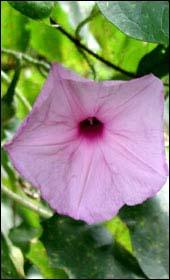 Flor de paja - 5 7